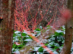 Dunham Massey Feb 2018 (stiffado) Tags: snowdrops cornus stems winterflowering wintergarden iris hamamelis witchhazel