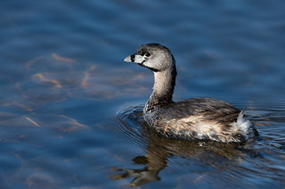Pied-billed Grebe-49141.jpg