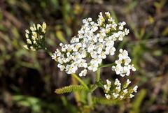 Yarrow (LeftCoastKenny) Tags: edgewoodpark flower wildflower