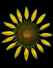 58824.01 Helianthus annuus (horticultural art) Tags: horticulturalart helianthusannuus helianthus flower fakeflower madeup sun petals