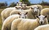 Baaah- Queenstown, NZ (Flortography) Tags: newzealand queenstown farm farming lumix panasonic six sheep group herd animal animaux faces multiple animals creatures creature
