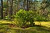 Juniper temple (МирославСтаменов) Tags: russia moscowregion juniper crown shrub tree pinery dunes moss coniferous forest