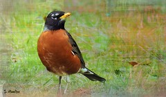 American Robin (Suzanham) Tags: americanrobin songbird nature wildlife bird spring digitalart mississippi robin yard canonpowershotsx60hs