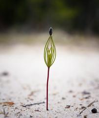 Emerging Pine Sapling (Kat~Morgan) Tags: sapling pine seed nature sonya3000 macro