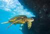 turtle1Mar26-18 (divindk) Tags: cheloniamydas hawaii hawaiianislands makenabeach makenalanding maui scientificname underwater diverdoug endangeredspecies greenseaturtle marine ocean reef sea seaturtle turtle underwaterphotography
