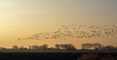 In flight (Wouter de Bruijn) Tags: fujifilm xt2 fujinonxf56mmf12r geese goose flock bird birds flight flying landscape nature sunrise dawn morning migration migratory veere walcheren zeeland nederland netherlands holland dutch outdoor
