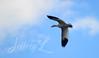 Soaring (J_Dubb94) Tags: snowgeese middlecreek birds sky wildlife outdoors flying