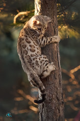 Little Bob going high (Andreas Krappweis - thanks for 3 million views!) Tags: andreaskrappweisphotography 2018 bengals snowbengals silver flashbengals climbing tree cute kitten nikond2x sigmaexdg70200mm128hsmiimacro sunset