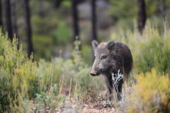 wildlife CH3A0119 (Ludo_M) Tags: nature fauna boar wildboar canon bokeh animal sanglier ef70200mmf28lisiiusm