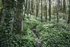 Tom Wood (Keartona) Tags: tomwood charlesworth derbyshire england ramsons green greenery wildflowers ivy trees woods woodland spring may sunlight shade path footpath lush verdant wildgarlic