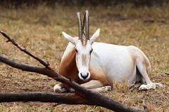 A Scimitar Oryx's Stare (idris.photography) Tags: wildlife nature oryx scimitaroryx antelope canon 800d zoo australia werribee animal animals