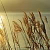 Golden reeds (nathaliedunaigre) Tags: reeds roseaux or gold doré golden nature sunset coucherdesoleil sunsetlight carré square lac lacléman lake lak