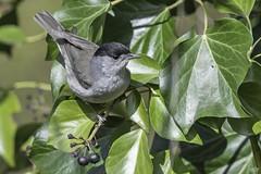 Eurasian Blackcap (Sylvia atricapilla) (Edymobeel) Tags: eurasianblackcap sylviaatricapilla eurasian blackcap bird black grey white berry green wildlife staffordshire nikond850 nikon d850 500f4