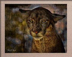 Good Bye World (Visions by Vincent) Tags: animal bigcat florida zoo endangered ngc nationalgeographicwildlife fantastic nature fantasticnature