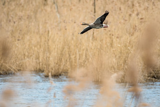 Greylag Goose  -  Graugans