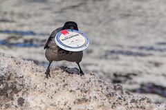 IMGP2981 (jarle.kvam) Tags: snow arendal norway crow urbanbird