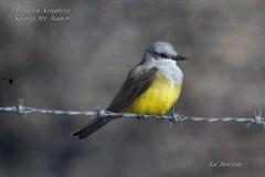 Western Kingbird (Edhorton) Tags: spring mt ranch las vegas nevada wildlife western kingbird