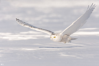 ''Planer!'' harfang des neiges-Snowy owl