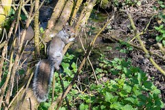 Tree Squirrel (Evoljo) Tags: coatewater swindon park wiltshire nikon d500 squirrel tree leaf tail fur