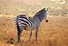IMG_2907 (SusanKurilla) Tags: wildlife africa kenya tanzania wild safari adventure zebra