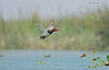 Emerging Pochard.... (Anirban Sinha 80) Tags: nikon d610 fx 500mm f4 ed vrii n g bokeh bird duck inflight wings river wetland water pochard