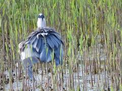 Heron (LouisaHocking) Tags: heron forest farm cardiff bird wildlife nature british feathers