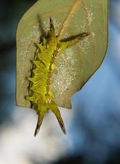 """Stinging Nettle Slug Caterpillar (Cup Moth, Setora sp., Limacodidae) """"Green Devil"""" (John Horstman (itchydogimages, SINOBUG)) Tags: insect macro china yunnan itchydogimages sinobug entomology moth lepidoptera caterpillar larva cup sky limacodidae stinging nettle slug green devil greendevil"""