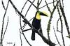 Toucan du Choco - Choco Toucan (Judith Lessard) Tags: oiseaux birds oiseauxdeléquateur birdsofecuador riosilanchebirdsanctuary toucan toucanduchoco chocotoucan