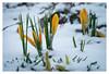 Spring meets winter (Eckehard Straßweg) Tags: winterspring snow nature natur outside outdoor flowers krokusse crocuses coldness kälte garden schnee garten wintertime fujinonlens bokeh makro macro fujifilmxt2 frühling springtime