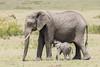 Elephant Mum & Baby (Ian Locock Photography) Tags: 2017 elephant kenya masaimara zebraplains