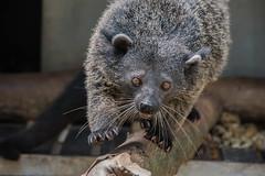 Binturong (Tati@) Tags: binturong arctictisbinturong bearcat gattoorsino viverrid mammifero viverride pelliccia fur