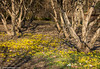 Spring at Cantigny (Jim Frazier) Tags: q3 publicgarden 2018 2018cantigny2018 aconite botanic botanicgarden botanicalgarden botanicalgardens cantigny cantignypark detail dupage dupagecounty eranthis flowers gardens horticulture il illinois jimfraziercom march museum nature park parks plants preserve rockgarden spring wheaton winter f10 instagram