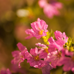 Mexican Heather (AngelaC2009***) Tags: 2018 spring march florida riverview flowers landscape landscaping groundcover mexicanheather shrub cupheahyssopifolia macro canoneosdigitalrebelxt greatphotographers