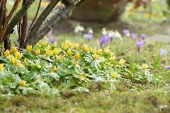 2018-03-24_06-05-04 (EG0612) Tags: friedrichstadt schleswigholstein nordfriesland winterlinge krokusse blumen flowers frühling spring