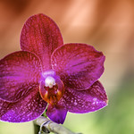 Lonely Orchid thumbnail