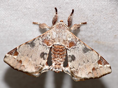 Apatelodid Moth (Apatelodes nina) (berniedup) Tags: belizon roura guyane apatelodidae moth apatelodesnina taxonomy:binomial=apatelodesnina