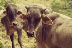 Chingaza, Colombia, 2018 (Sergio Fabara) Tags: sergiofabara fabara kinofabara photography fotografía chingaza colombia nya animals animales cow cows vaca vacas