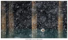 Heavy snowfall (Stefan Gerrits aka vanbikkel) Tags: norway varanger båtsfjord canon5dmarkiii canonef500mmf4liiusm nature wildlife vanbikkel bird birds eidereend stellerseider eider allihaahka polystictastelleri snow snowfall sneeuw