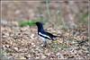 7735 - magpie robin (chandrasekaran a 47 lakhs views Thanks to all) Tags: magpierobin birds nature india chennai canoneos6dmarkii tamronsp150600mmg2