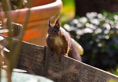 Hallo! / Hi! (schreibtnix on 'n off) Tags: deutschland germany bergischgladbach tiere animals eichhörnchen squirrel sciurusvulgaris nahaufnahme closeup nixmehrda nothingleft olympuse5 schreibtnix