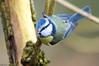 L'acrobate (Phil du Valois) Tags: acrobate faune sauvage libre wild free mésange bleue cyanistes caeruleus eurasian blue tit herrerillo común chapimazul blaumeise kék cinege pimpelmees cinciarella europea blåmes blåmeis sýkorka belasá sýkora modřinka blåmejse sinitiainen mallerenga blava eurasiàtica blámeisa modraszka zwyczajna zilzīlīte plavček лазоревка アオガラ 青山雀 歐亞藍山雀