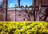 Has spring sprung yet? (Ian Betley Photography) Tags: canon eos 5d mark iii ef50mm f18 stm ƒ71 500 mm 11000 100 50mm ian betley photography chester cheshire england uk daffodil daffodils