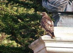 Red tail hawk at Golden Gate Park (MarcBphotos) Tags: golden gate park san francisco red tails hawk beethoven statue california olympus em10