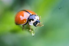 IMG_1225 (Maruf Shimanto) Tags: macro photography bangladesh reversed 1855lens insect