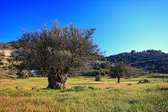 Olive tree at Agios Pantelaimonas (8) (Polis Poliviou) Tags: nature green tree wood root agriculture plant outdoors cyprustheallyearroundisland cyprusinyourheart yearroundisland zypern republicofcyprus κύπροσ cipro кипър chypre chipre кіпр кипар cypern kypr ©polispoliviou2018 polispoliviou polis poliviou πολυσ πολυβιου leaf field mediterranean oleaeuropaea naturepics flora grass environment healthy beauty motherearth art agricultural soil texture rough postcard brunch brown season countryside organic ecology ecological winter lovecyprus olivo ulivo wheatfield harvest sunlight naturephotography naturephotos landscapephotography