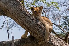 Time to Rest (Hector16) Tags: pantheraleo wildebeestmigration eastafrica serengeti nature migration tanzania wildlife ndutu shinyangaregion tz ngc
