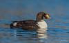 King eider (Juvenile) (salmoteb@rogers.com) Tags: bird wild outdoor nature wildlife ontario canada toronto king eider duck water lake