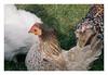 . (-klik-) Tags: chicken