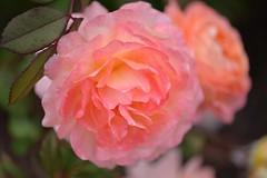 Rose 'Lady Emma Hamilton' raised in UK (naruo0720) Tags: rose englishrose ladyemmahamilton バラ ばら イギリスのバラ レディーエマハミルトン d610 sigmalenses