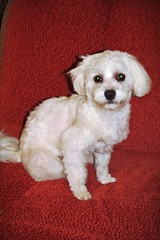 white on red ;) (green_lover (I wait for your COMMENTS!)) Tags: fela dog dogs maltese pets animals white